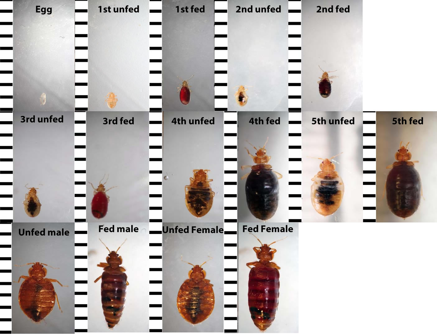 What Do Baby Bed Bugs Look Like to the Human Eye?