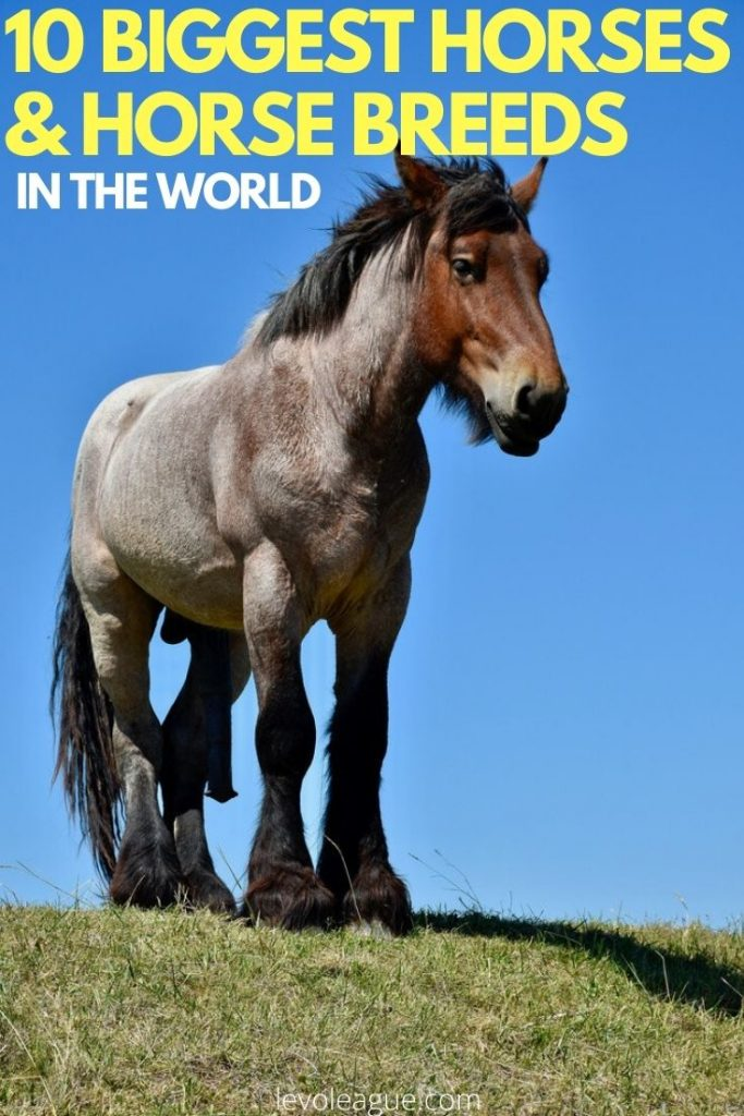 10 Biggest Horses And Horse Breeds In The World 2020 Levo League